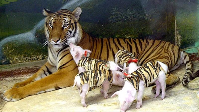 Детеныши этой тигрицы ушли из жизни он впала в депрессию Но люди нашли выход