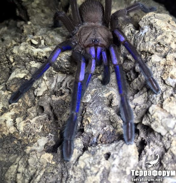 Chilobrachys sp electric blue