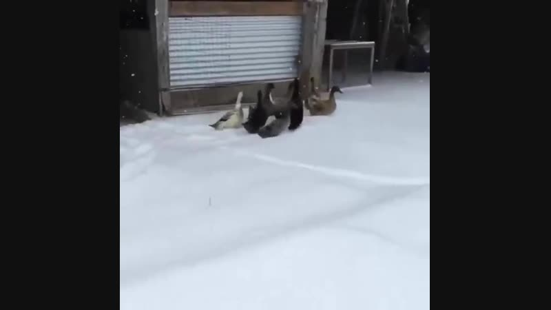 Ducks take a first walk in the snow That's enough let's get back inside