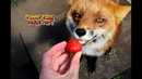 Strawberry Time for Red Foxes slow motion eating