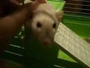 Крыска Дамбо осваивается в новой клетке
