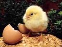 El pollito pio con animales