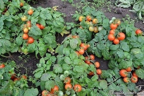 О ЛЕЖАЧИХ ПОМИДОРАХ Многие опытные овощеводы при посадке рассады помидоров укладывают в землю корень и часть стебля растения. Мотивируют и вполне обоснованно это тем, что в земле на стебле