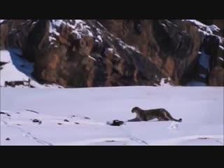Ирбис на охоте