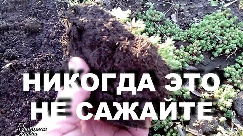 Никогда не сажайте это растение в своих цветниках Очиток едкий - культурный сорняк