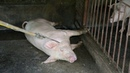 Hà Nội mỗi ngày tiêu hủy 10 000 con lợn tả P2 kill African swine fever virus in Ha Noi P2