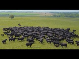 Как в России выращивают быков элитной породы блэк ангус