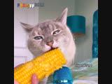 Кот ест кукурузу
