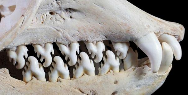 Челюсти тюленя-крабоеда Как это ни странно, но тюлень-крабоед не питается крабами, а свое ботаническое название вид получил по чьей-то ошибке. Основная пища этого вида антарктический криль,
