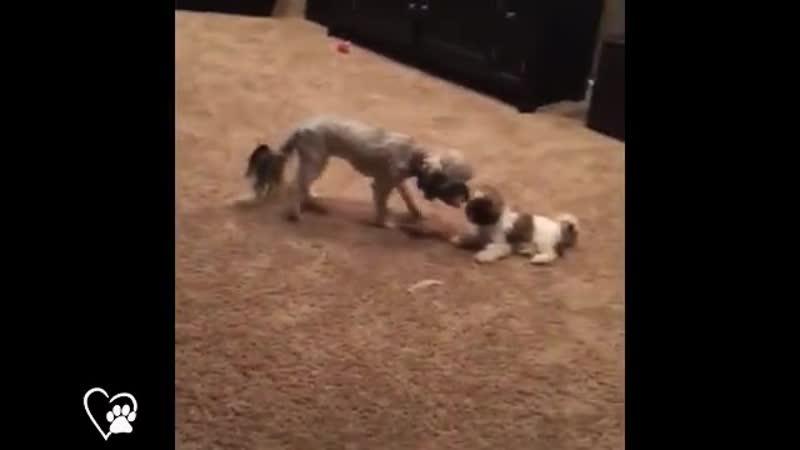 собаки забияки 1