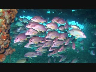 Onespot Snappers in Chang Wreck   Diving Koh Chang, Thailand