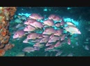 Onespot Snappers in Chang Wreck | Diving Koh Chang, Thailand