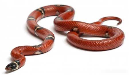 Змеи часто играют важную роль в ритуалах вуду.