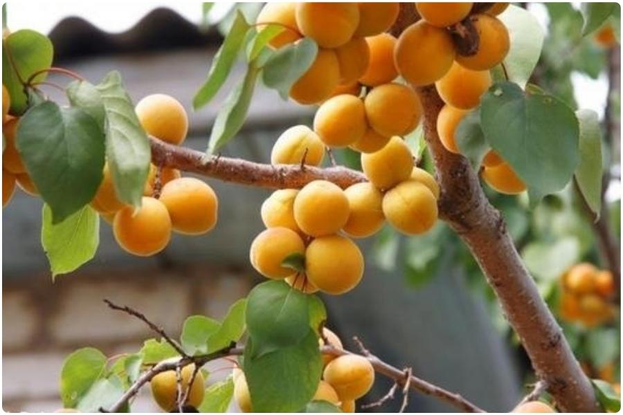Подготовка абрикосов к зиме