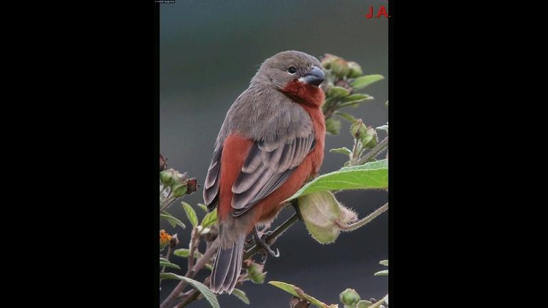 Espiguero Ladrillo - pequeña ave cantora