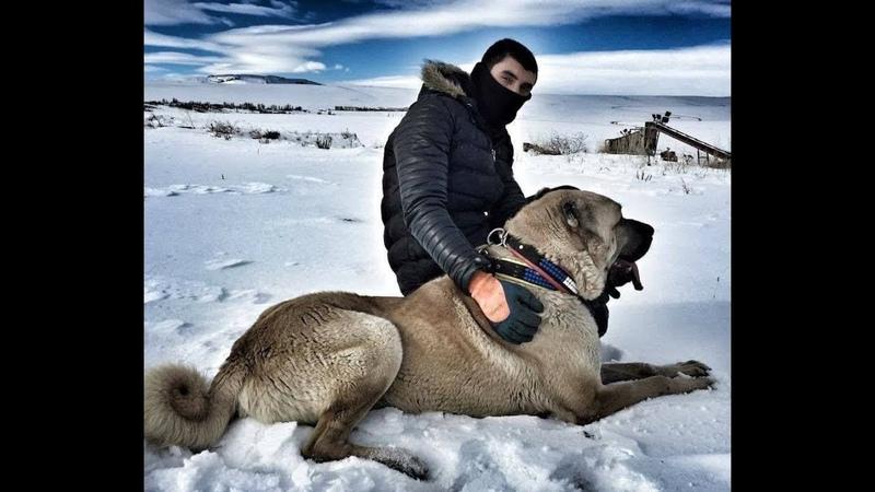 Turkish Shepherd Dogs Türk Çoban Köpekleri Kangal Malaklı Boz Yörük Akbaş Çapar ve Anadolu