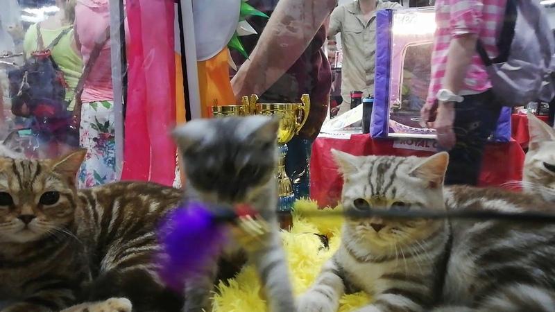 Британский котенок Portland MeowClub *BY BRI ns на выставке кошек Кошарики Москва Сокольники