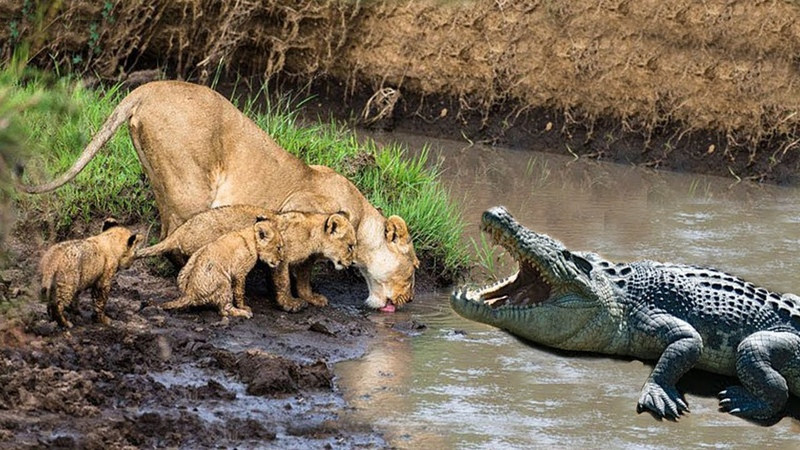 Lion Cubs drinking water surprise by Huge Crocodile attack, Lions fight Crocodile Rescue Baby