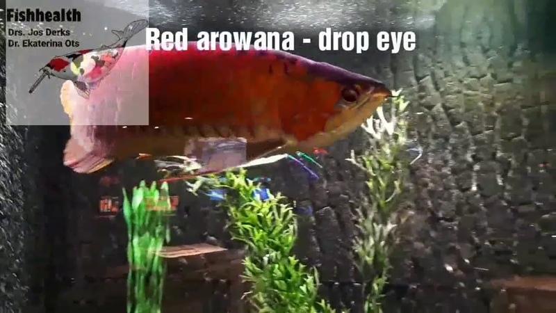Болезни рыб- красная арована,операция на глазуFish disease- Red Arowana, drop eye