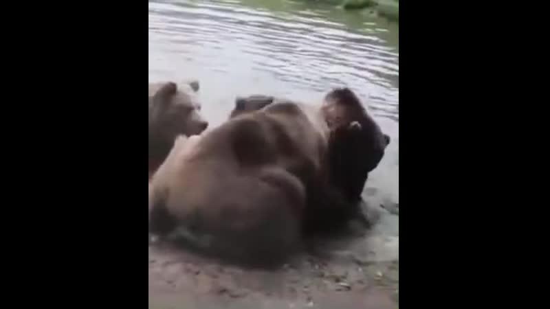 Медведи рвут волка!