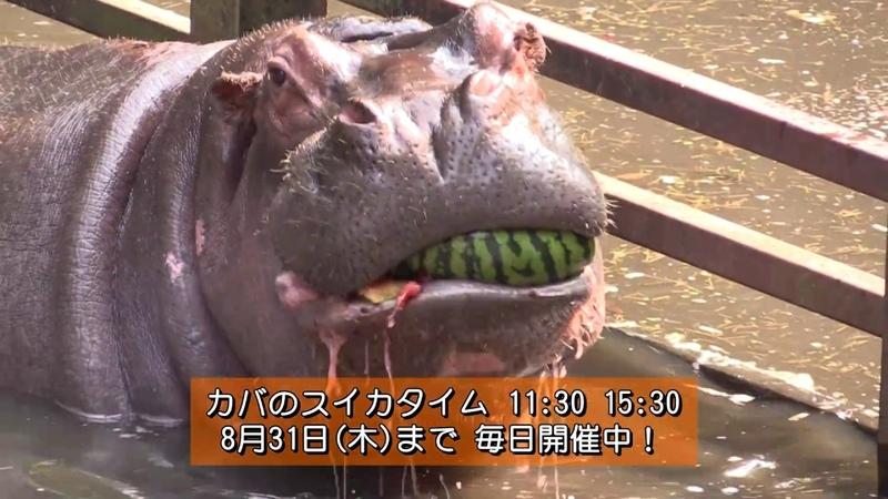 カバのスイカまるごとタイム The hippo's watermelon time
