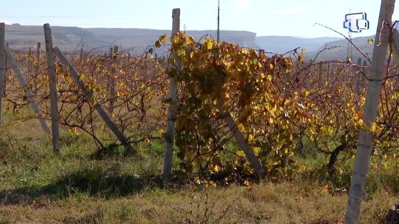 В Бахчисарае начинающий фермер выращивает виноград, сливу и абрикос