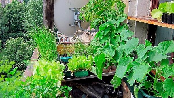 Как вырастить овощи на балконе