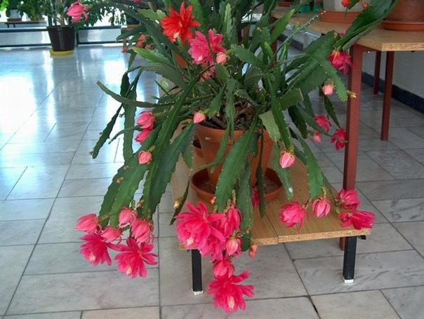 Эпифиллюм По красоте цветки гибридных эпифиллюмов (филлокактусов) ни в чем не уступают орхидеям. Зпифиллюмы (известны также как филлокактусы) гибриды, полученные в результате скрещивания