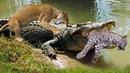 Crocodile is king swamp! Crocodile vs Leopard, Lion - Big Battles In The Swamp
