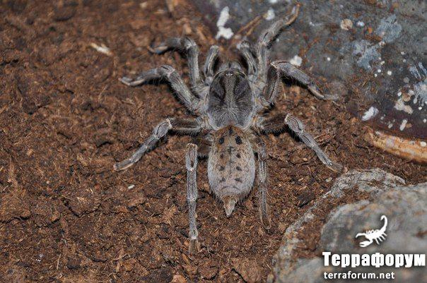 Pterinochilus lugardi