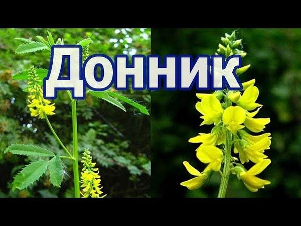 Донник желтый (лекарственный), лечебные свойства, применение, противопоказания травы.