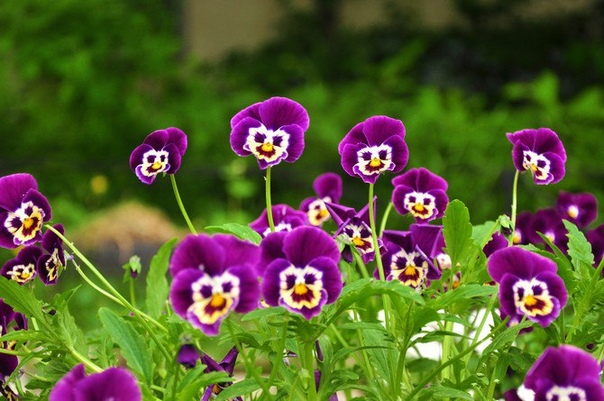Анютины глазки Анютины глазки или Виола это вовсе не изящная метафора из поэзии о женской красоте. Это очаровательный цветочек, о котором знают все многоопытные цветоводы и не только. Есть еще
