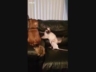 Собака, кот и крыса играют