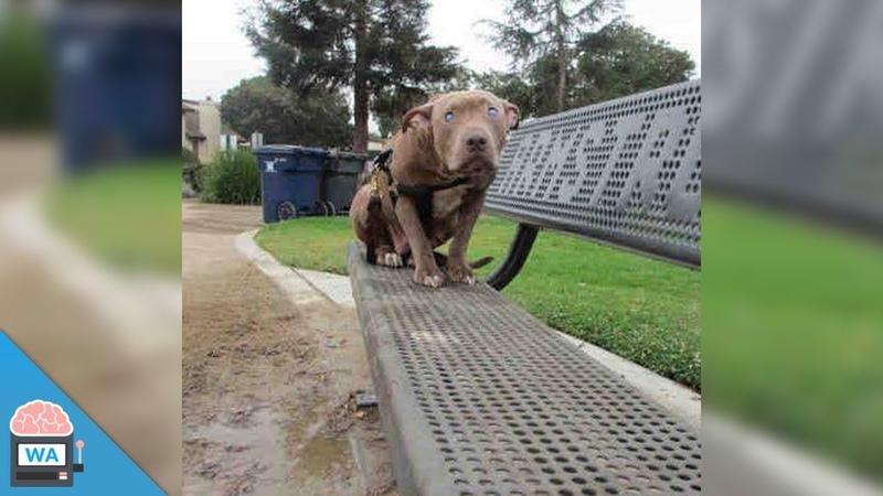Frau sieht Pitbull auf einer Bank sitzen. Als sie sich den Hund näher anschaut, ist sie schockiert