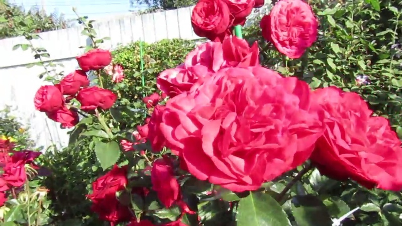 Мой розовый сад 2018г - второе цветение Роза - Пиано