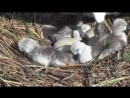 Swans nest and hatching of cygnets.