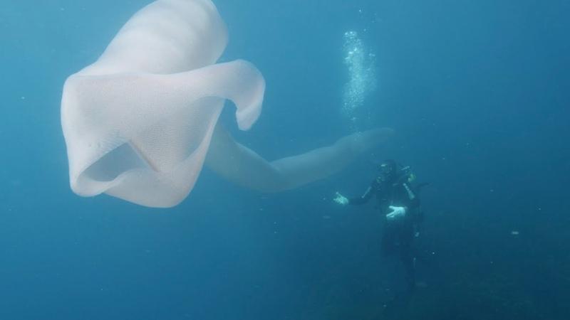 8-метровое нечто, напоминающее полупрозрачный чулок, повстречали дайверы у берегов новозеландского острова Уайт-Айленд.
