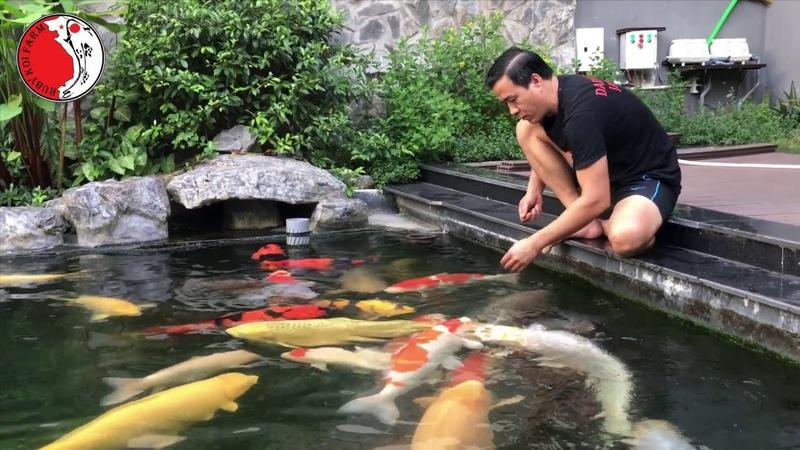 Hồ cá Koi có cá đẹp,thân thiện và khủng nhất Việt Nam.07/2017