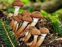 Поход за грибами 1 сент 2018г Опята! 1