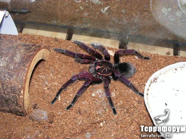 Pamphobeteus-nigricolor