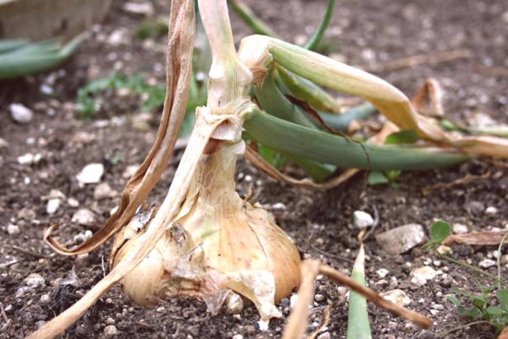 Когда убирать лук в июле и августе 2019: благоприятные дни по лунному календарю, рекомендации, как хранить зимой