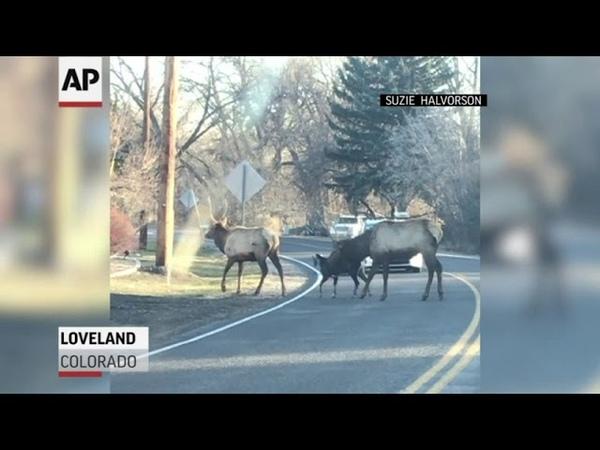 Wandering goat finds pals in Colorado elk herd
