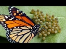 Monarch butterfly Laying Many Eggs And Hatching Into A Caterpillar