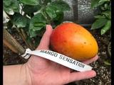 Созрел Mango 'Sensation'