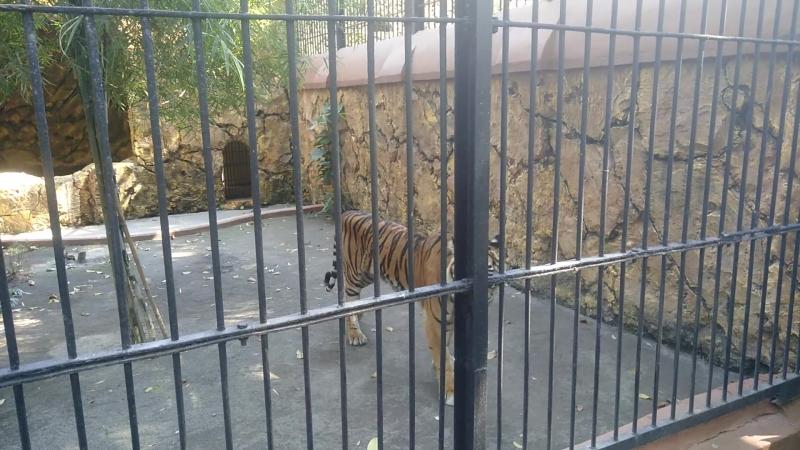 Сурабая, зоопарк, суматранский тигр
