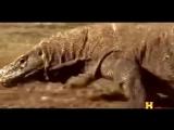 National geographic - The Legendary Komodo Dragon - BBC wildlife animal doc.mp4