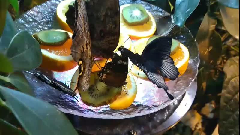 Миндо. Бабочки кушают :)
