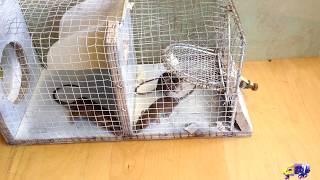 Mouse trap - keri mousetrap video - rat trap video! 28