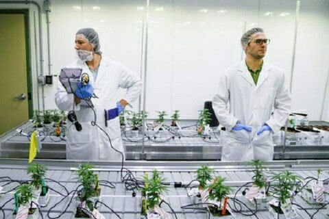 В канадском колледже появилось марихуановедени. 24 студента Ниагарского колледжа в Онтарио (Канада) получили официальное разрешение выращивать коноплю. Как пишет агентство Reuters, документ