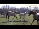 Shael foals 2019 Akhal teke ofspring 2019 ахалтекинские жеребята 2019 года рождения